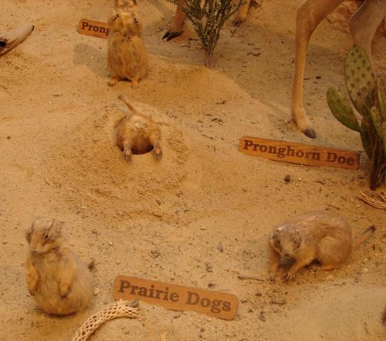 Prairie dog display at Cabela's (Wells, Maine)