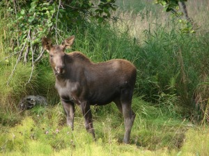 Moose on the loose in Homer!